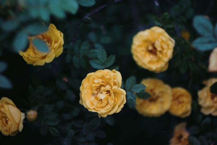 Close-up of yellow rose flower in water