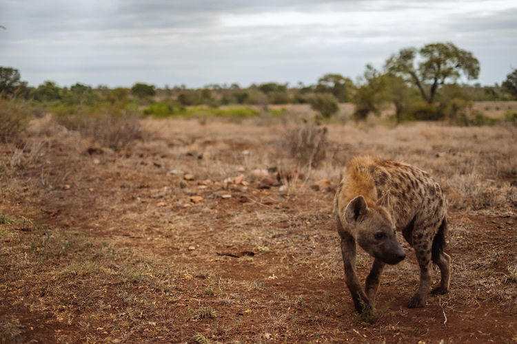 Hyena walking on field