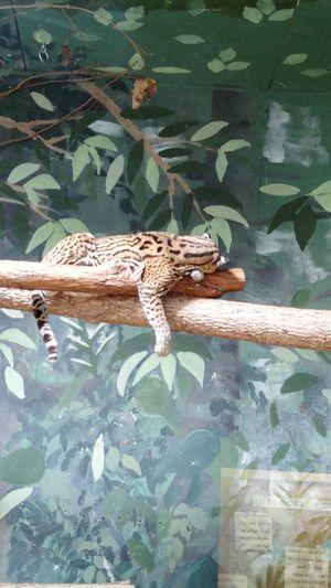 Animal Wildlife Animal Themes No People Tree Large Cat Zoo Spotted Sleeping