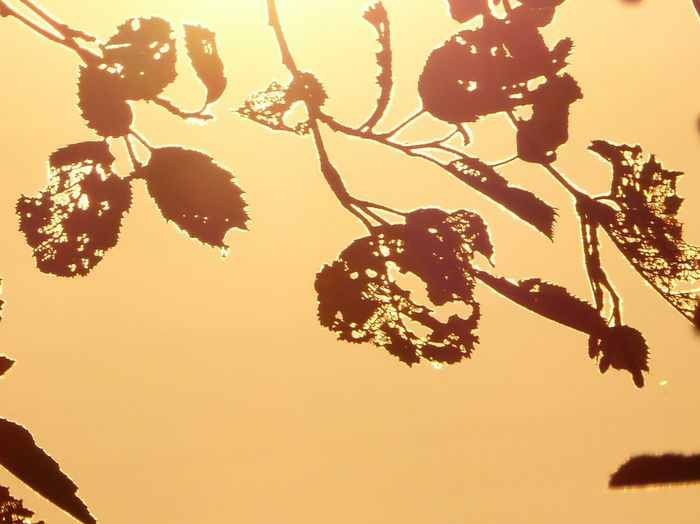 Silhouette Leaf Beauty In Nature Fragility Leaves In The Sundown Color Of Sundown sunsetview View From The Window... Tranquility