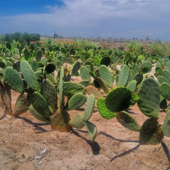 Plantação de Palmas em Pocinhos (PB)