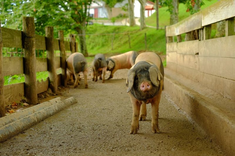 Pigs in animal pen