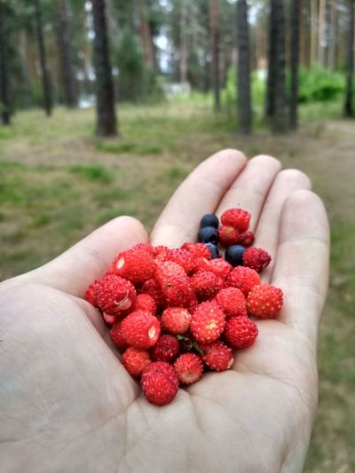 Picking nothertn berries in the forest. Wild strawberry and blueberry in my hand. Healthy Eating Nature Natural Natural Eat Bilberry Blaeberries Whortleberry Huckleberry Wild Strawberry Forest Human Hand Tree Fruit Red Agriculture Healthy Lifestyle Rural Scene Holding Berry Fruit Strawberry Berry Blueberry Picking Juicy Harvesting Ripe
