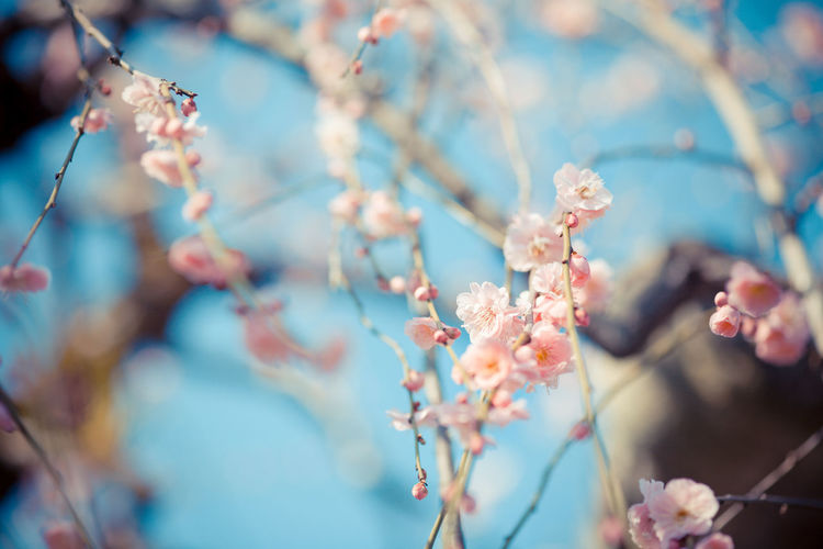 Apricot Blossoms Blooming On Tree