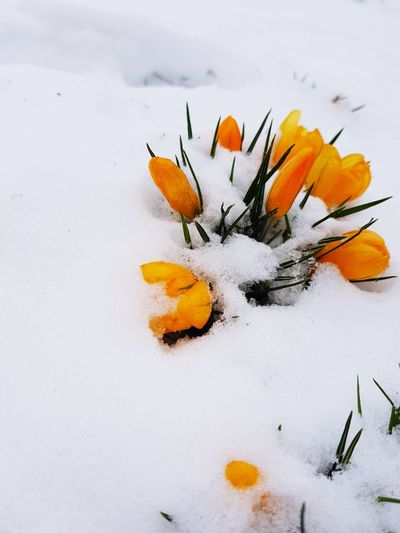 snowy tulips Snow ❄ Cold Spring Minusdegrees Early Mornings White White Ground White Sky Nature Mothernature Amaturephotography Samsungphotography Cold Days Basic Filter Cold Morning Walks Flower Tulips Snowy Flower