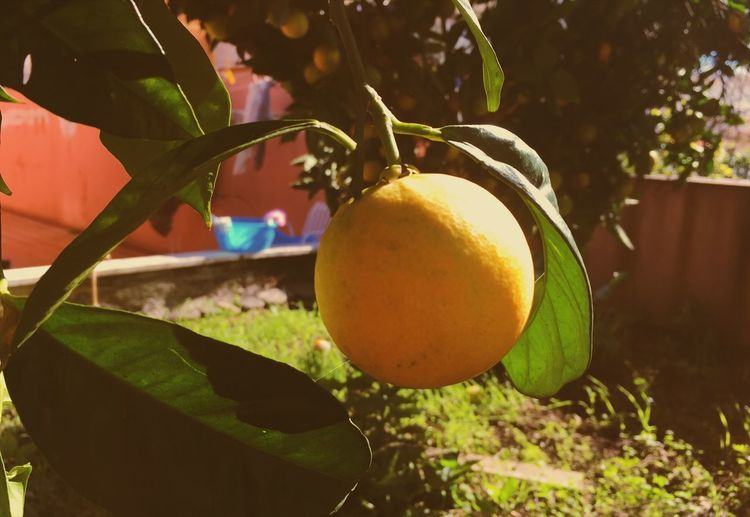 Healthy Eating Plant Fruit Tree Growth Food Food And Drink No People Wellbeing Close-up Freshness Outdoors Citrus Fruit Nature Plant Part Focus On Foreground Branch Day Leaf Sunlight