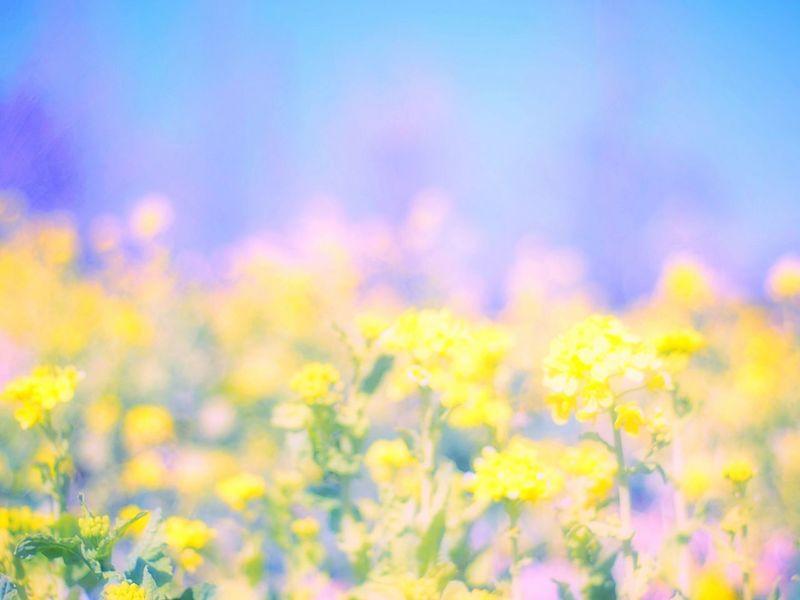 春の夢 Showcase March Bokeh Takumar Bokeheffect Colorful Colors Spring Spring Colours Flowers Fleshyplants Dreamfantasy Airy Airy Flowers Spring Time EyeEm Flower Yellow 菜の花