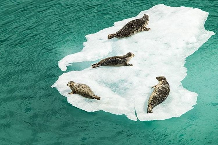 Nursing Animal Themes Animal Wildlife Animals In The Wild Baby Seal Beauty In Nature Bird Cold Temperature Day Fjord High Angle View Iceberg Mammal Nature No People Outdoors Sea Sea Life Seals Togetherness Water Winter Young Animal