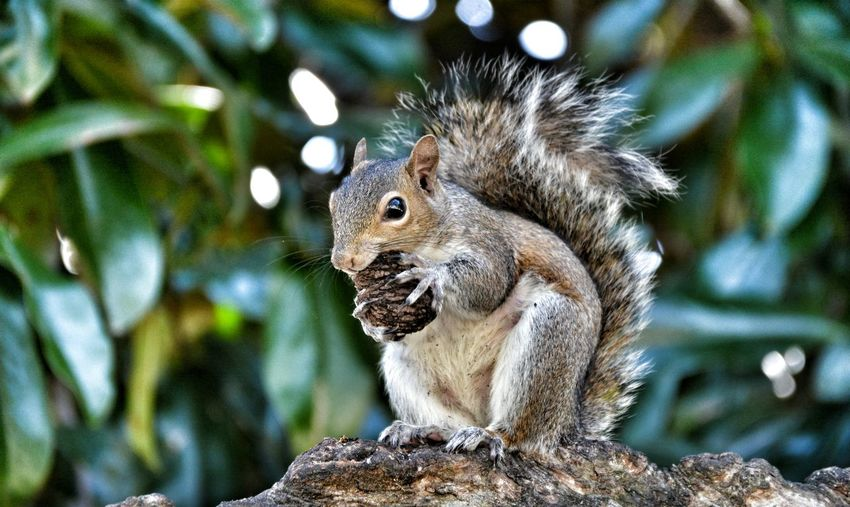 Close-up of squirrel with nut on tree