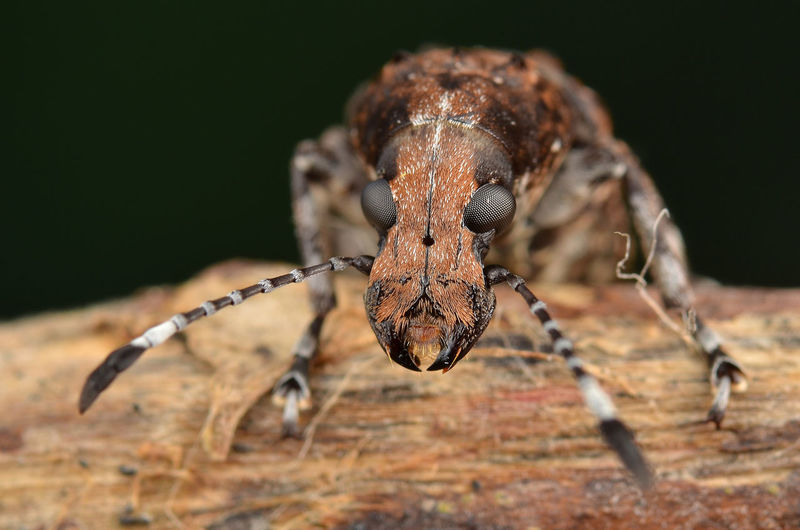 Fungus Weevil Animal Animal Themes Animal Wildlife Animals In The Wild Antenna Anthribidae Beetle Close-up Creature Creepy Face Fauna Fungus Weevil Insect Nature Scary Face Weevil