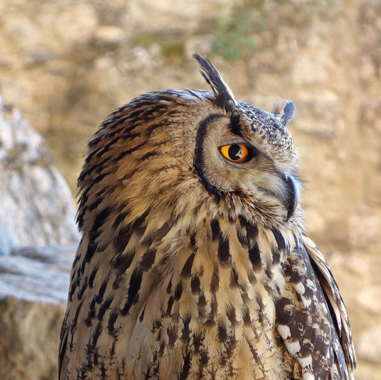 Nature Sperlinga Enna Sicily Italy Bird Bird Of Prey Owl Portrait Looking At Camera Close-up