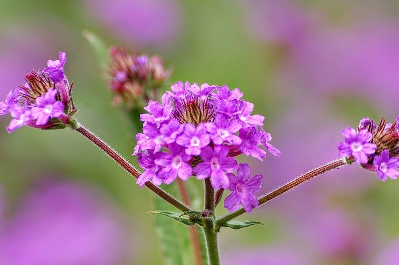 Flower Head Flower Thistle Pink Color Insect Purple Uncultivated Petal Close-up Plant