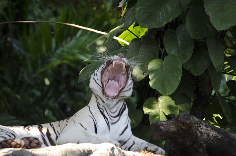 Close-up of a white tiger