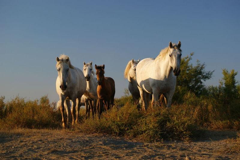 Beautiful Horse Beautiful Horses Camargue Camargue Horses Camargue♥ France Camargue Horse Horse Of Camargue Horses