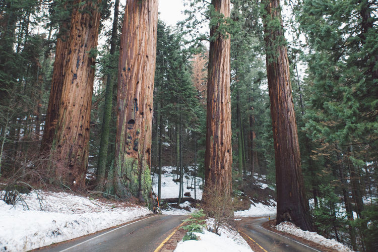 Beauty In Nature California Cold Temperature Day Forest Landscape Mountains Nature Nature No People Outdoors Road Roadtrip Scenics Sequoia Sequoia National Park Snow Tranquil Scene Tranquility Transportation Tree Tree Trunk Trees Weather Winter Lost In The Landscape Connected By Travel