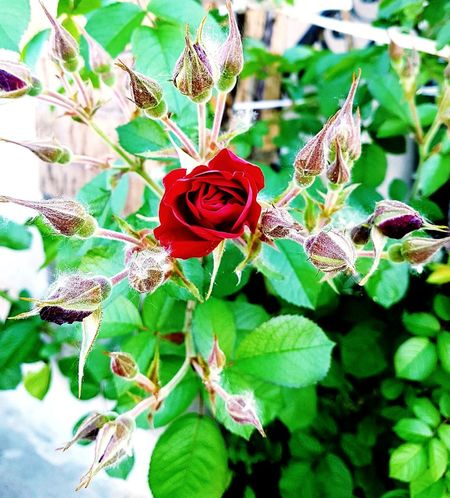Red Flower Flowers,Plants & Garden Nature Photography Naturelovers Flowers Of EyeEm Flowerslovers Flower Head Plant Life In Bloom