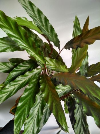 Calathea Rufibarba green leaves view from above, vertical orientation, nobody. Greenery Potted Plant Houseplant Marantaceae No People Nature Plant Green Color Leaf Calathea Calathea Rufibarba Prayer Plant