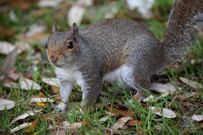 Squirrel Grey Squirrel Park Nature Wildlife Grass Fur Fluffy Tail Leaves Animals