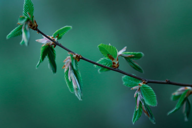 Close-up of fresh green leaves on twig