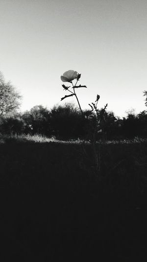Silhouette Stand Alone Beauty Flower Nature No People Beauty In Nature Tranquil Scene Scenics Outdoors Sky Grass Tranquility Shadow EyeEm Selects EyeEmNewHere Black And White Friday