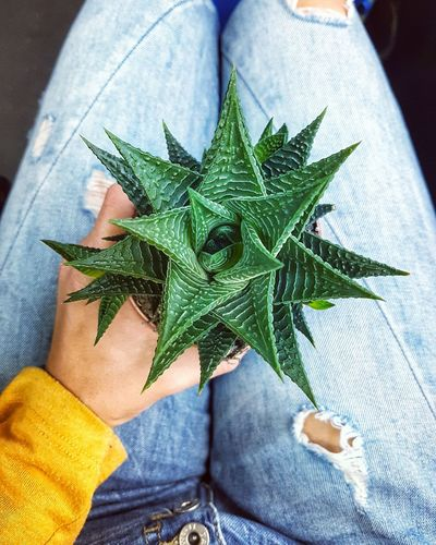 Colorful overhead view of a cactus Hand Holding Plant Yellow Human Leg Colorful Green Cactus Close-up Overhead View Top Down View Blue Jeans Plant Life Plant Low Section High Angle View Plant Life Personal Perspective Growing