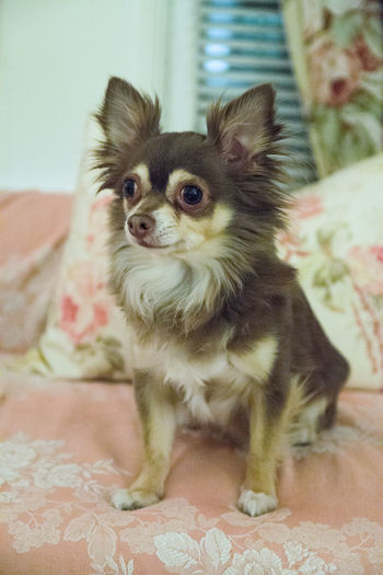 Animal Themes Mammal Animal Domestic One Animal Domestic Animals Pets Indoors  Furniture Home Interior Lap Dog Dog Canine Vertebrate No People Small Bed Sitting Young Animal Cute Chihuahua - Dog Floral Pattern Whisker