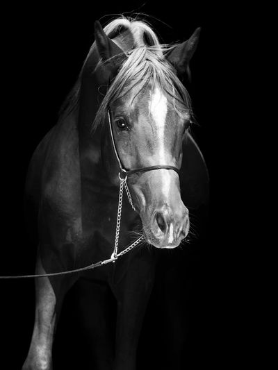 Portrait of brown horse standing against black background