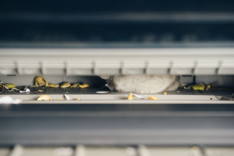 A Pet Hamster Was Hiding In The Printer Animal Animal Themes Close-up Day Hamster Hidden Hide Mammal One Animal Pet Printer Rodent Selective Focus Young Animal