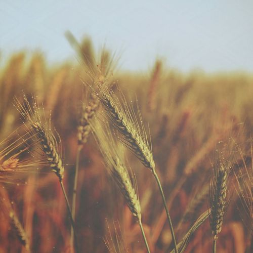 Countryside Egypt Village Wheat Food Nature Natural Vscocam VSCO Agriculture Green Fields Greenfield Greenfields Close-up Close Up Closeup