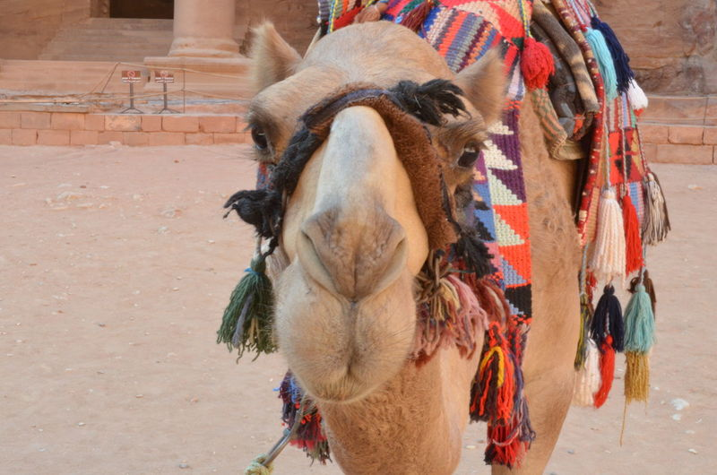 Jordan Jordanien Petra Petra, Jordan Animal Themes Bridle Camel Camels Close-up Day Domestic Animals Front View Horse Livestock Mammal No People One Animal Outdoors Working Animal Working Camel