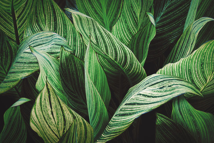 Striped foliage of canna lily plant abstract pattern background