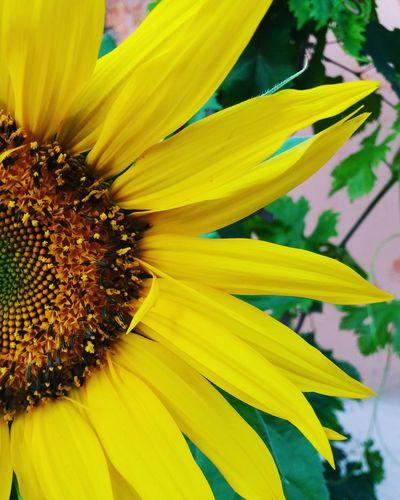 Flower Fleur Fleurs Jaune Jaune🌻 Yellow Flower Marrakech Maroc ورد وردة أصفر Springtime First Eyeem Photo