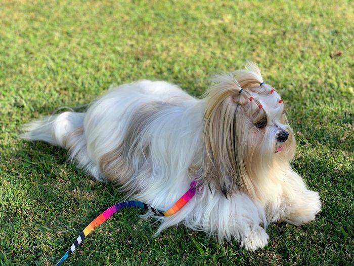 Teodoro Lhasa Lhasa Apso Animal Themes Canine Dog Vertebrate No People Nature Hair