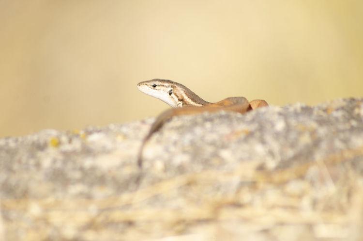 Lizard Lizard Reptile Full Length Close-up