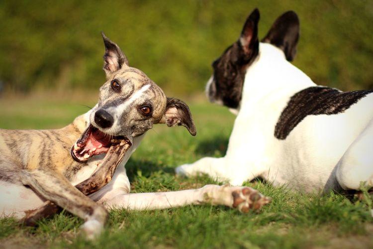 Dogs lying on field