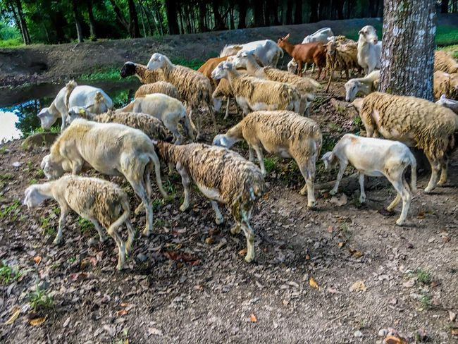 Flock Of Sheep Livestock Large Group Of Animals Sheep Nature Eyeem Philippines Investing In Quality Of Life