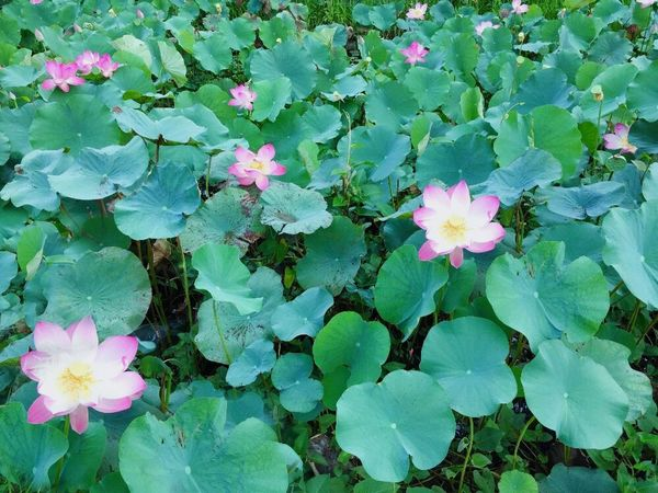 Lotus Flower Leaf Growth Plant Beauty In Nature Nature Petal Flower Head Outdoors Green Color Fragility High Angle View Freshness No People Day Blooming Pink Color Water Lily Close-up Water