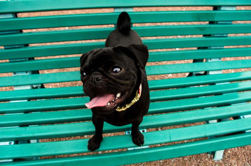 Alertness Animal Animal Head  Bench Black Black Color Blue Close-up Curiosity Cute Day Domestic Animals Mammal No People Outdoors Pets Portrait Puppy Staring Tongue Whisker