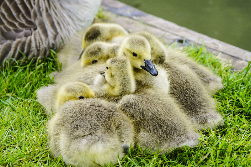 Close-up of goslings with goose on grass