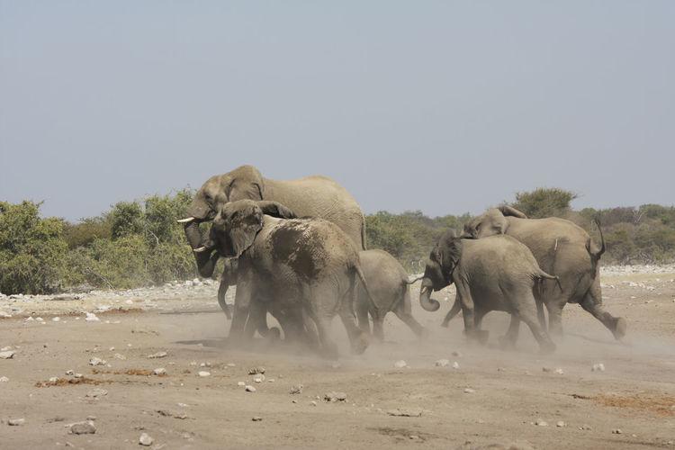 Herd of elephants running on field