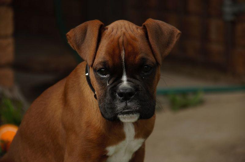Portrait of brown boxer puppy