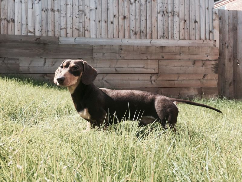 Puppy Dachshund Garden Sausagedog Dogslife Dog Natural Domestic Animals Pets Natural Light Small Dogs