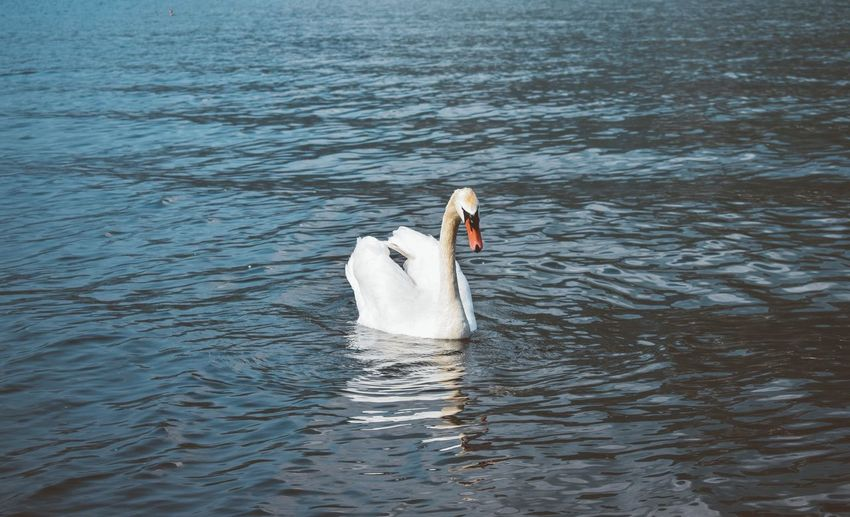 Swan swimming in lake
