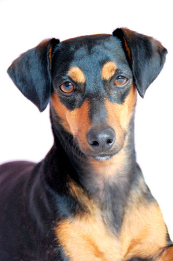 Joy Happy Family Love♡ Dog Dogoftheday Rescuedog Spanish Dog Dogs Life Dachshund Podenco