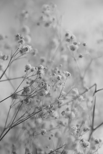 Drying Dry Flower  Romantic Soft Softness Beautiful Lovely Black And White Black & White Growth Plant Nature No People Beauty In Nature Close-up Flower Selective Focus Flowering Plant Focus On Foreground Field Tranquility Day Land Outdoors Fragility Plant Stem Vulnerability  Freshness Environment