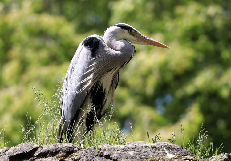 High angle view of gray heron perching on rock