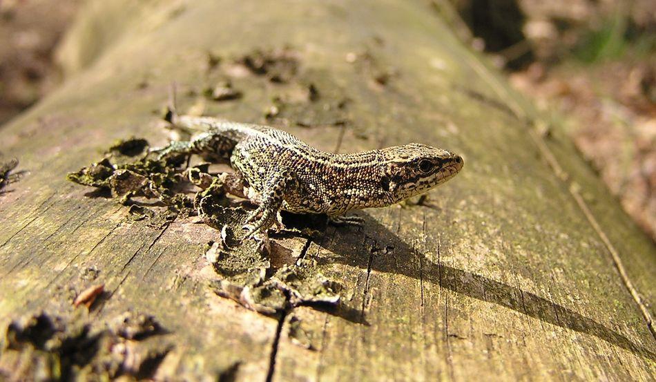 Reptile Lizard Nature Outdoors