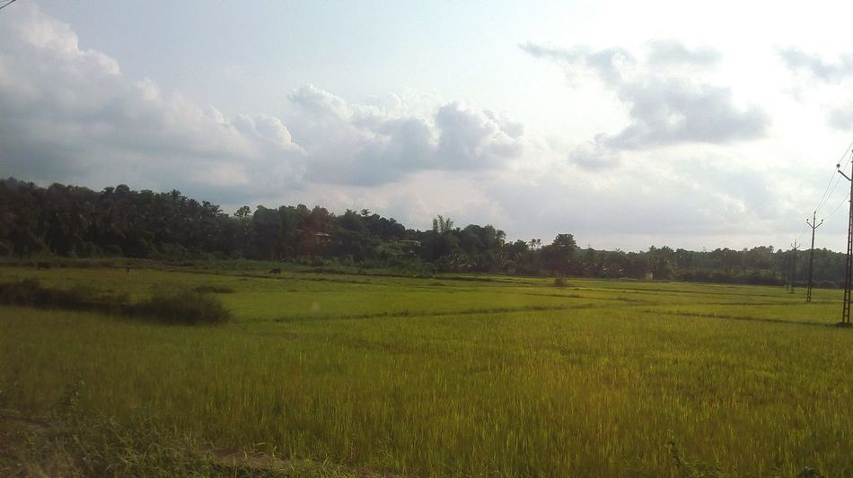 Agriculture Field Tree Landscape Nature Rice Paddy No People Rural Scene Beauty In Nature Outdoors Freshness Grass Day Sky Irrigation Equipment Nokia Photography Neighborhood Map Check This Out PhonePhotography Taking Photos EyeEmNewHere The Street Photographer - 2017 EyeEm Awards The Photojournalist - 2017 EyeEm Awards EyeEm Best Shots The Great Outdoors - 2017 EyeEm Awards