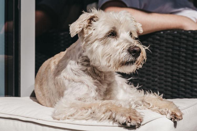 Happy white dog enjoying sunshine on the balcony. selective focus.