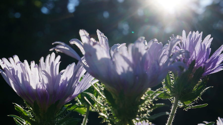 Stoke's Aster Beauty In Nature Bright Close-up Day Flower Flower Head Flowering Plant Fragility Freshness Growth Inflorescence Lens Flare Nature No People Outdoors Petal Plant Purity Purple Sunbeam Sunlight Vulnerability